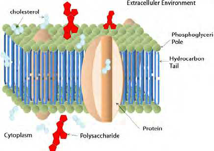 diagram of fluid mosaic model cell membrane 1999 honda accord fuse box phospholipid is the major component bilayer