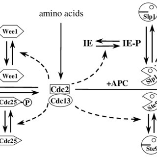 (PDF) Regularities and irregularities in the cell cycle of