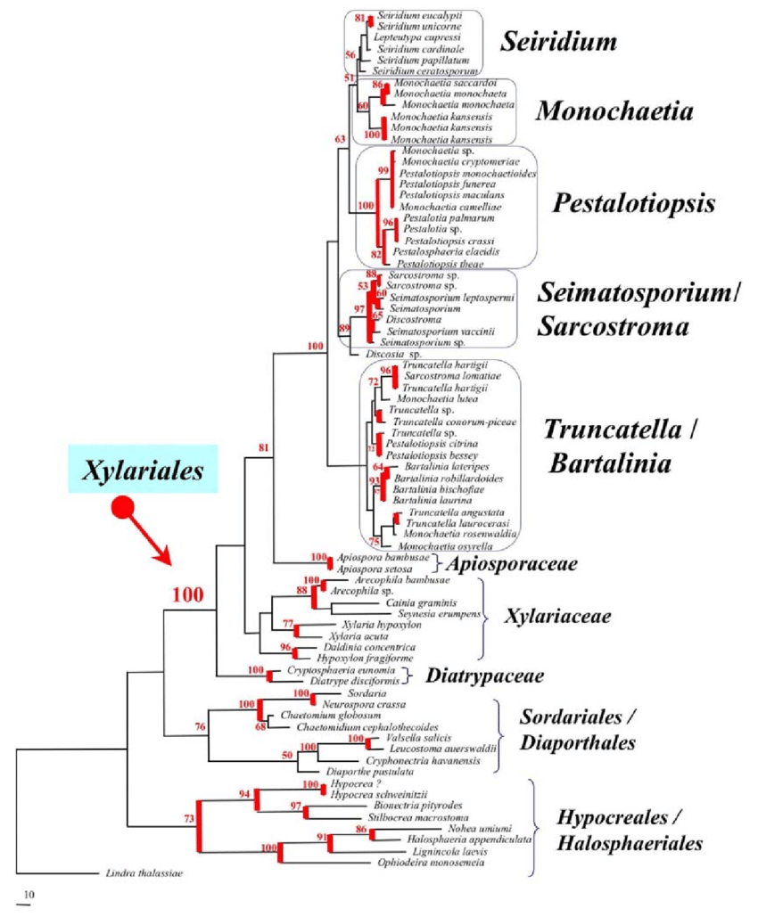 The LSU nu-rDNA phylogeny and Pestalotiopsis and allied
