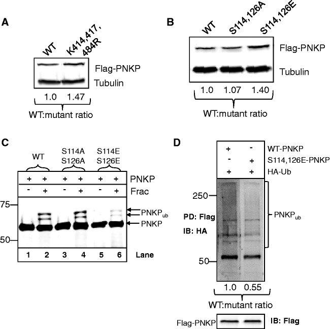 Phosphorylation of PNKP by ATM prevents its proteasomal