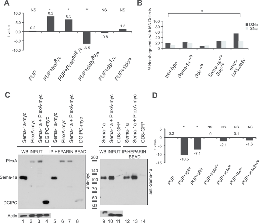 Specificity of HSPG-mediated Sema-1a signaling modulation