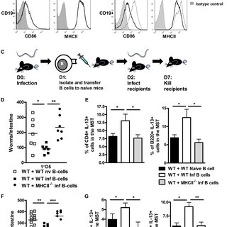 (PDF) IL-4Rα-Associated Antigen Processing by B Cells