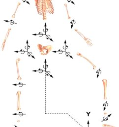 schematic of the 27 degree of freedom dof full body gait model used to predict novel gait motions that reduce the peak knee adduction torque  [ 850 x 1158 Pixel ]