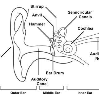 outter ear diagram labeled human honda fourtrax 250 carburetor 1 showing the structure of detailing parts outer