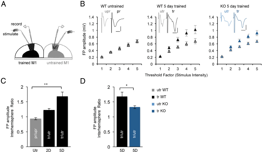Reduced synaptic strengthening with motor skill learning