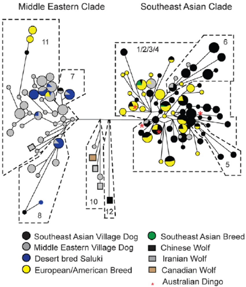 medium resolution of networks of dog circles and wolf squares nry snp str haplotypes including 300 village dogs dingoes 124 breed dogs and 7 wolves size of circle