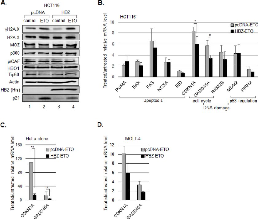 HBZ inhibits p53-mediated activation of p21/CDKN1A and