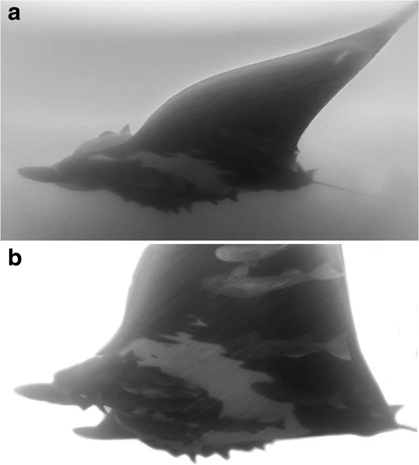 medium resolution of in situ southernmost record of mobula birostris off peruvian central coast gopro photograph taken at