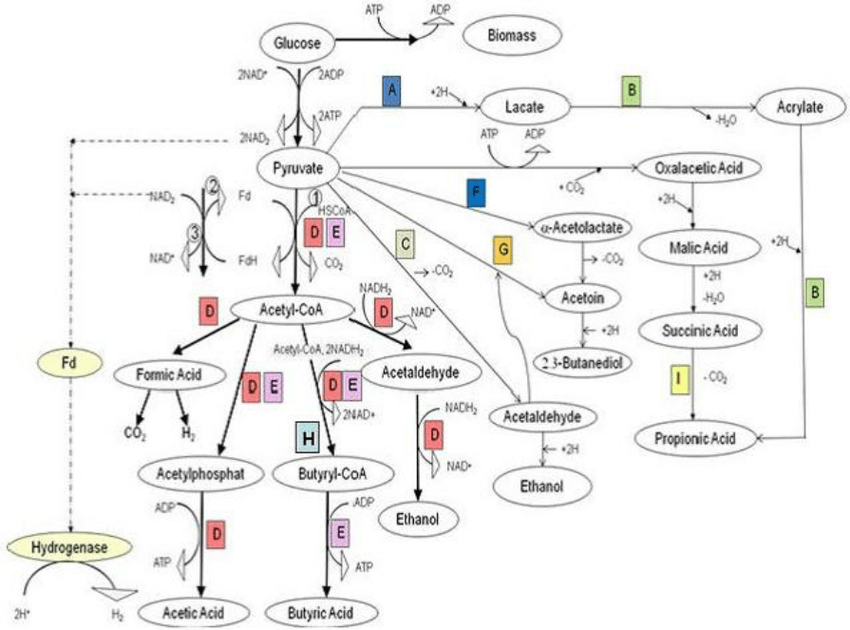 Metabolic pathway of glucose by HPB under anaerobic