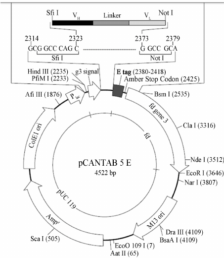 "Map of pCANTAB5E phagemid vector. ""The Re- combinant Phage"