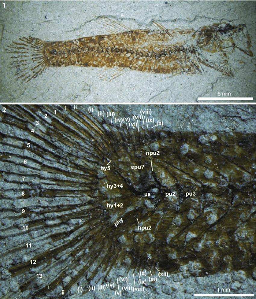 medium resolution of  paralates chapelcorneri n sp nhmuk pv p59785 counterpart 1 download scientific diagram