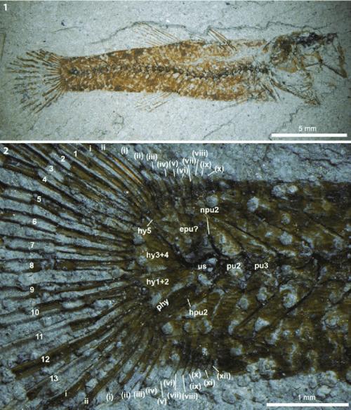 small resolution of  paralates chapelcorneri n sp nhmuk pv p59785 counterpart 1 download scientific diagram