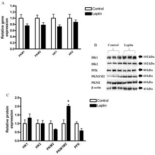 HCT116 cells were treated with DMEM (control), vs. leptin