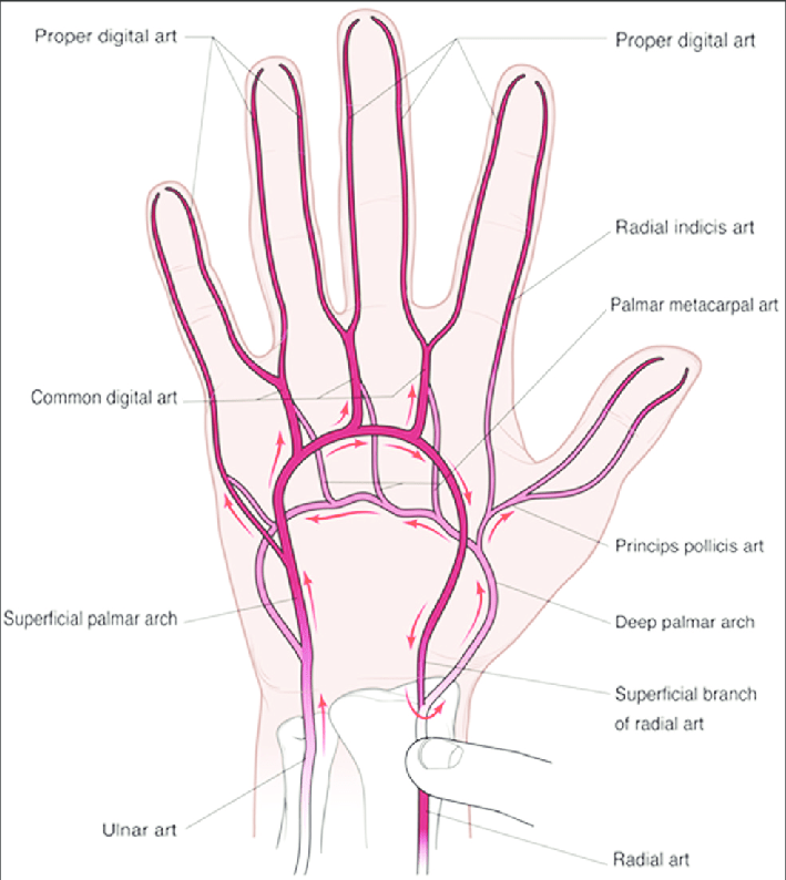 human vascular anatomy diagram 24v trailer plug wiring arch great installation of arterial the hand with direction blood flow rh researchgate net veins cardiovascular
