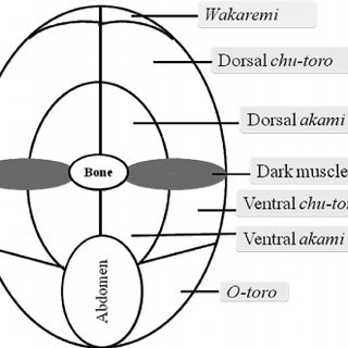 Schematic diagram of the transverse section of cephalic