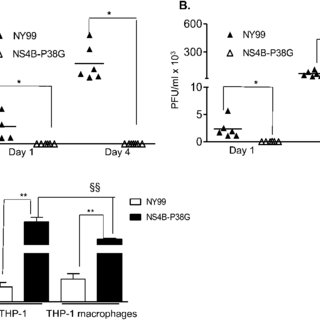 WNV infection in THP-1 cells and THP-1 macrophages. THP-1