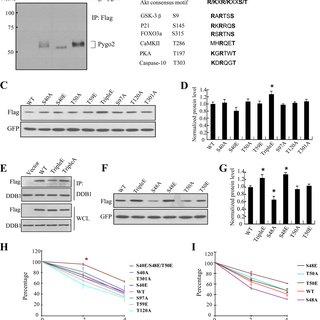 (PDF) Akt Phosphorylates Wnt Coactivator and Chromatin