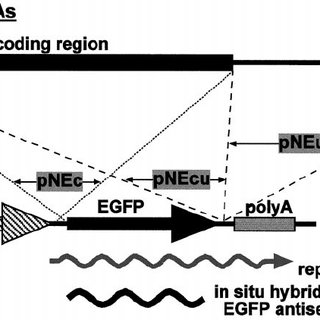 Schematic representation of the expression and detection
