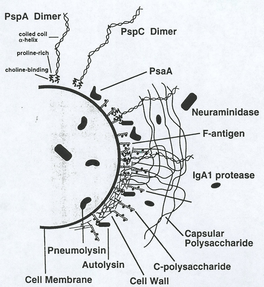 Cell surface of Streptococcus pneumoniae. The molecules