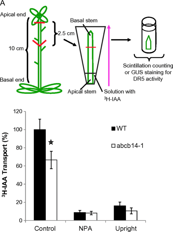 Polar Auxin Transport Decreases In Inflorescence Stems Of