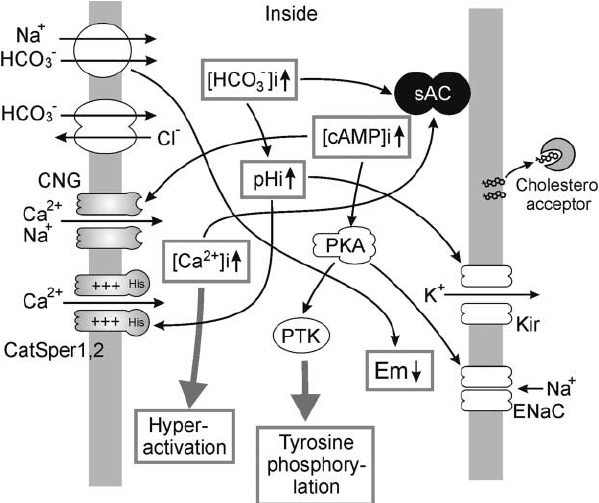 Diagram of ion fluxes and signaling events of mammalian
