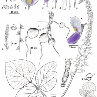 (PDF) Pueraria grandiflora (Fabaceae), a new species from