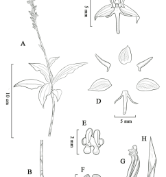 habenaria malipoensis a plant with inflorescence b roots and download scientific diagram [ 850 x 1202 Pixel ]