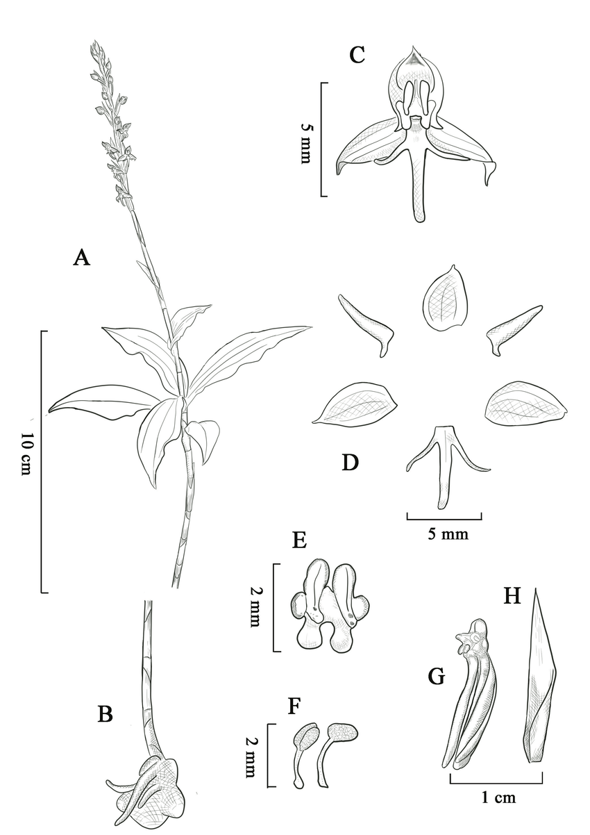 hight resolution of habenaria malipoensis a plant with inflorescence b roots and download scientific diagram