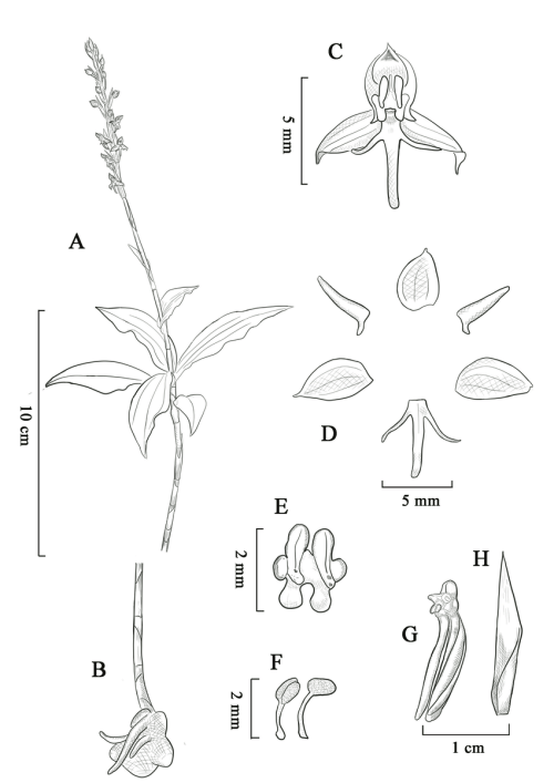 small resolution of habenaria malipoensis a plant with inflorescence b roots and download scientific diagram