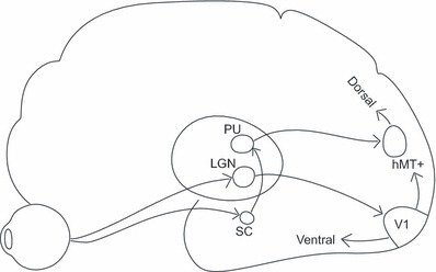 sual pathways in the brain. LGN = lateral geniculate