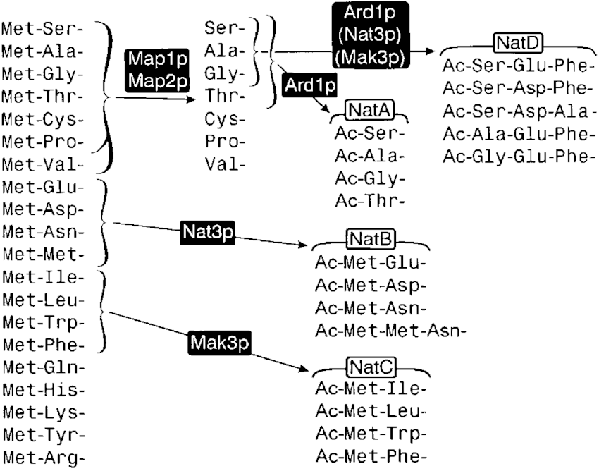 The pathways of N-terminal processing. The two methionine
