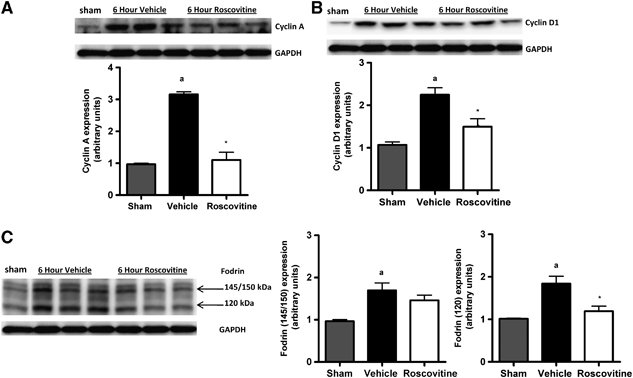 Central administration of roscovitine inhibits cell-cycle