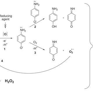 Schematic representation of 4-aminophenol induced ROS