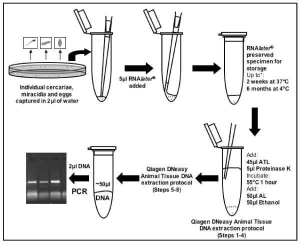 Schematic of the RNAlater® preservation and gDNA