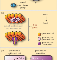 neuroectoderm specification and neuroblast formation a a schematic cross section through a [ 665 x 1274 Pixel ]
