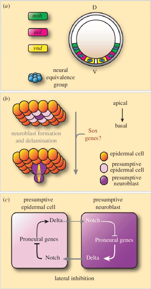 small resolution of neuroectoderm specification and neuroblast formation a a schematic cross section through a