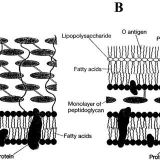 (PDF) Molecular Basis of Mechanotransduction in Living Cells
