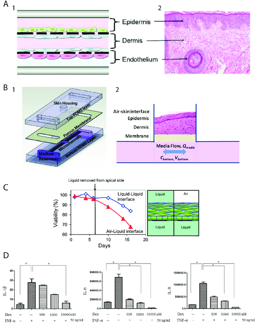 medium resolution of a 1 schematic of three layers for skin on chip platform made by soft lithography technique 2 histological skin showing skin cellular organization