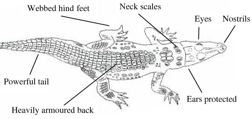 Diagram of crocodile, showing neck scales, nostrils, eyes