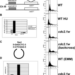 (PDF) Hyperactive Cdc2 kinase interferes with the response