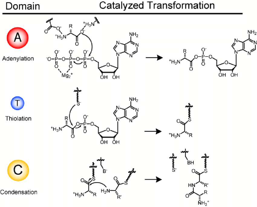 Basic enzymatic domains and their reactions for non