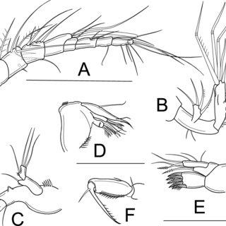 Elaphoidella namnaoensis n. sp., female: A, habitus