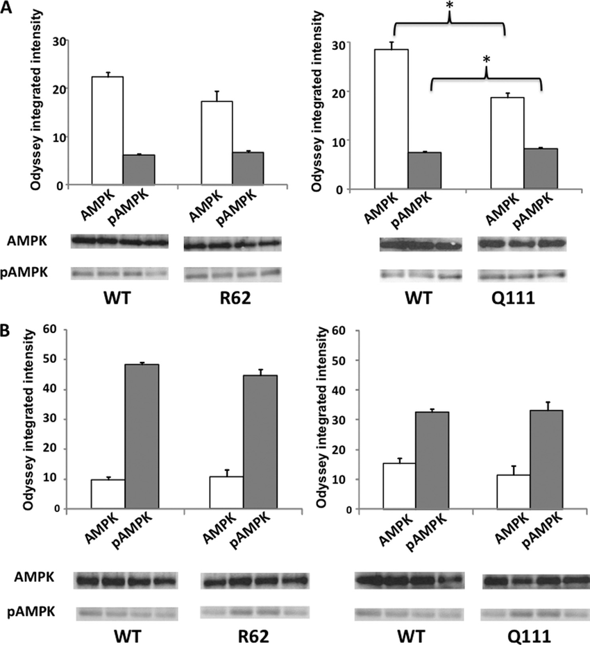 Quantitative immunoblots of AMPK and pAMPK in R6/2 and Hdh