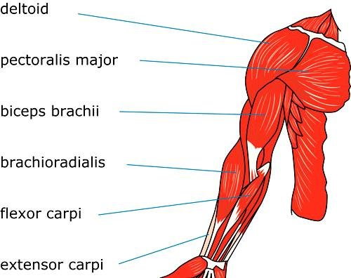 Anatomy of human arm – muscular system | Download