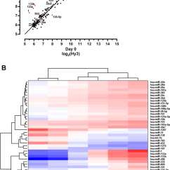 Human Muscle Cell Diagram Entity Relationship Many To Analysis Of Microrna Mirna Expression During Skeletal Differentiation A Intensity Log2hy3 Scatter Plot Showing Comparison
