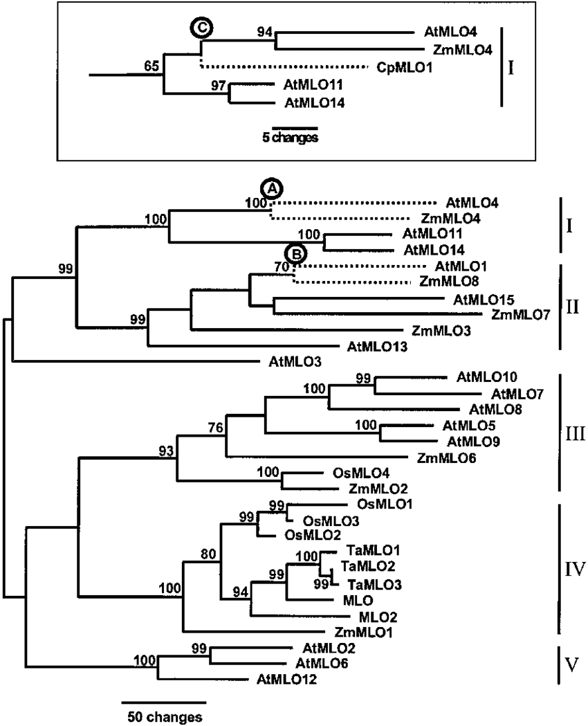 hight resolution of maximum parsimony phylogenetic analysis of amino acid sequence data for monocot and dicot mlo family members