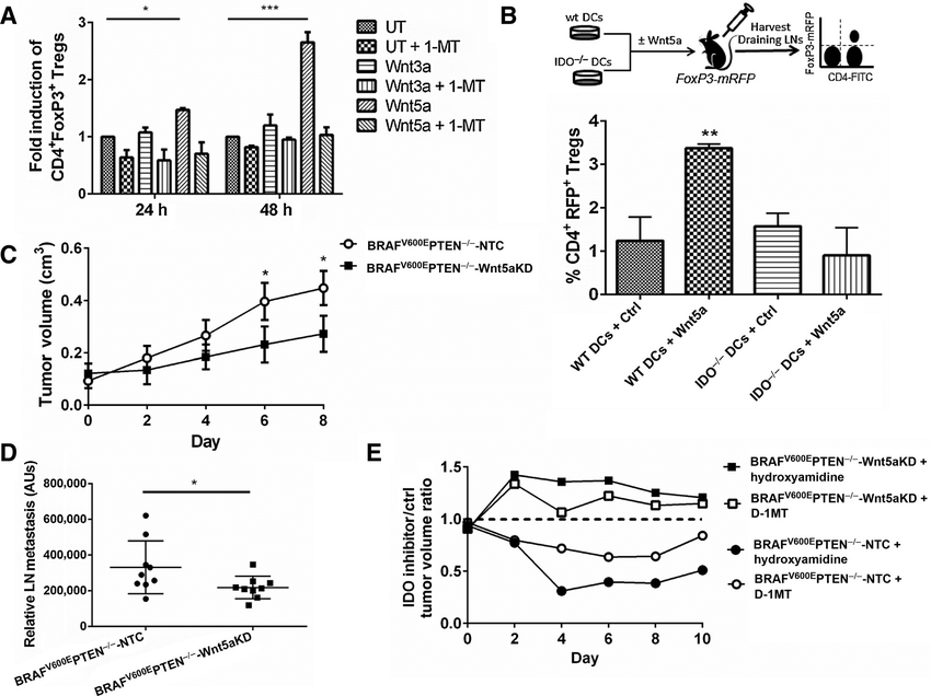 Wnt5a conditions DCs to promote regulatory T-cell