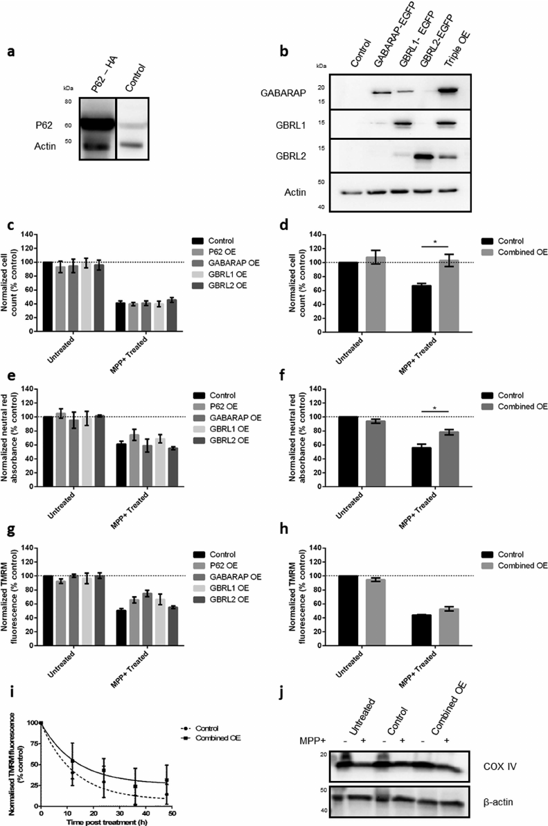 Overexpression of key autophagy proteins protects cells