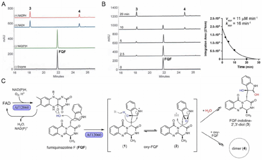 Biochemical characterization and proposed mechanism of the FAD and... | Download Scientific Diagram