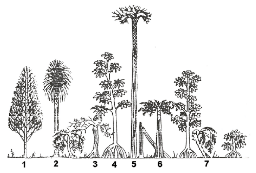 Reconstruction of coal swamp trees. 1, Calamites ; 2